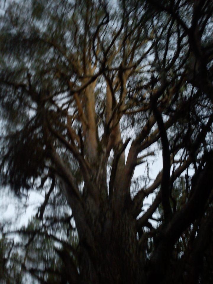 Last light caught on Granny Pine in Black Rannoch Wood, Thurs 21 November 2013, Photo Chris Fremantle